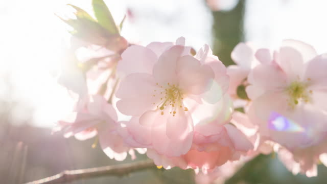 Brightly lit cherry blossoms on a beautiful sunny day in summer at sunset video