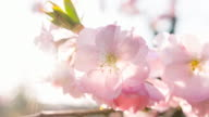 Brightly lit cherry blossoms video