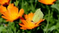 Brimstone butterfly picking pollen video