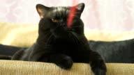 British black cat yawns. Close-up video