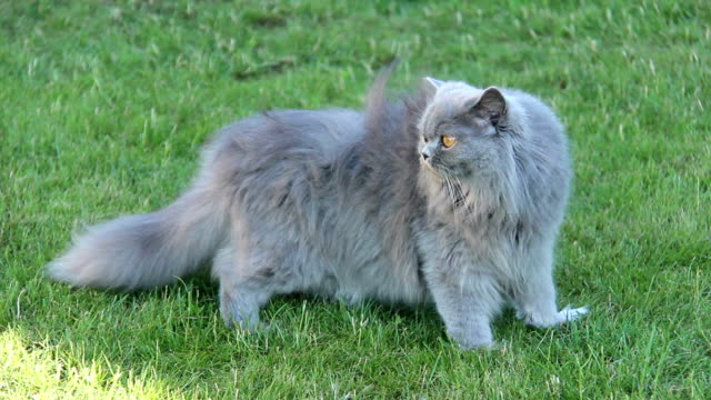 British cat is walking on the grass on a summer residence video