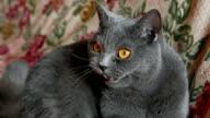 British cat that talks video