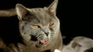 British cat yawns video