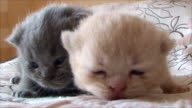 British pedigree kittens of different colors video