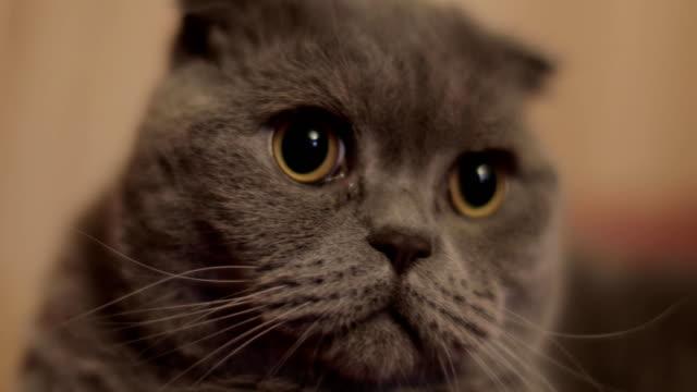 British shorthair cat close-up video