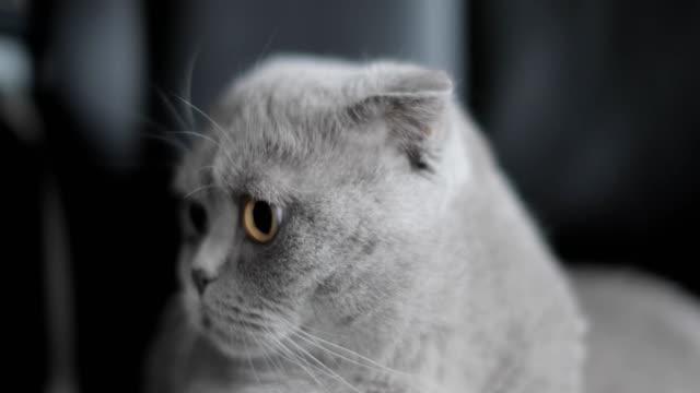 British shorthair cat video
