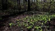 Bärlauch - Allium ursinum - wild garlic video