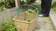 Broad Beans in Basket video