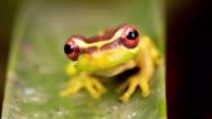 Broad Headed Treefrog Osteocephalus mutabor video