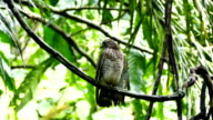 Broad-Winged Hawk (Buteo Platypterus) perched on a liana in the jungle video
