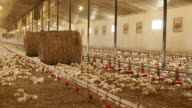 Broilers in a production house video