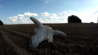 Broken cow skull in the field, time lapse video
