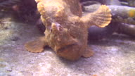 Bronze Frogfish video