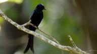 Bronzed Drongo Bird on twig video
