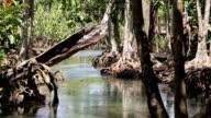 Brook in the mangrove forest (Krabi, Thailand). video