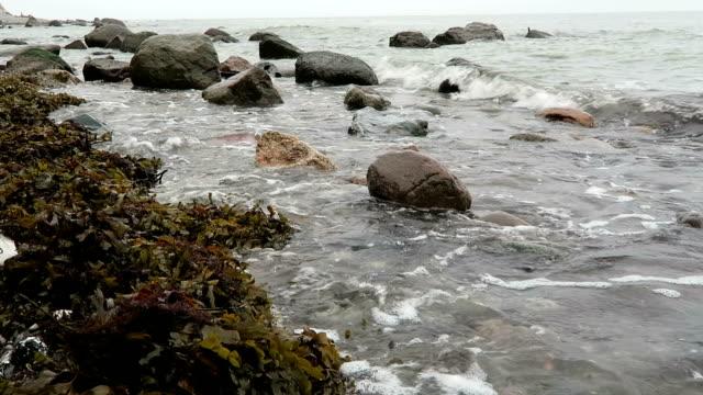 brown algae on shore of rugen island on baltic sea video