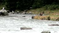 Brown Bear - Alaska video