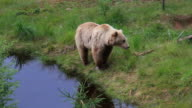 Brown bear by the water. video