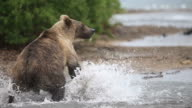 Brown bear.  fisher video