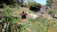 Brown Bear Goes For A Walk video