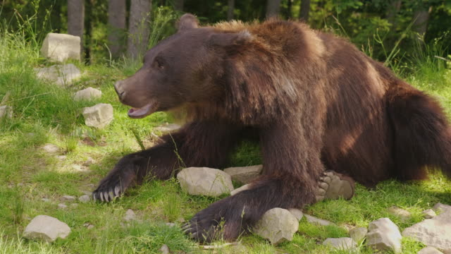 Brown bear rests on a glade. Forest in the background. Wild life of the forest video