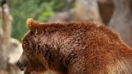 Brown bear video