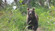 Brown bear walking video