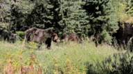 Brown Bear Walks Down To The Water video