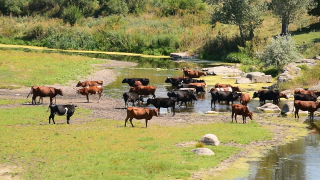 Brown, black and white cows on river video