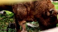 Brown buffalo eating grass video