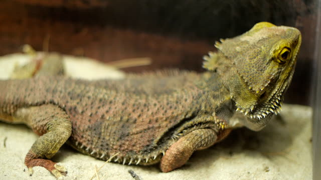 Brown chameleon video