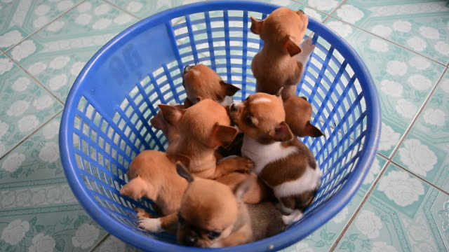 Brown chihuahua puppies are climbing out of basket video