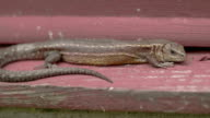 A brown common lizard on the wood video