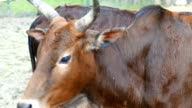 brown cow and calf closeup video