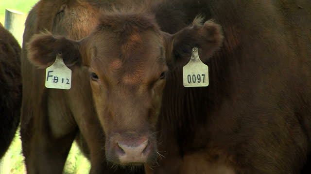 brown cow, with tags in ears video