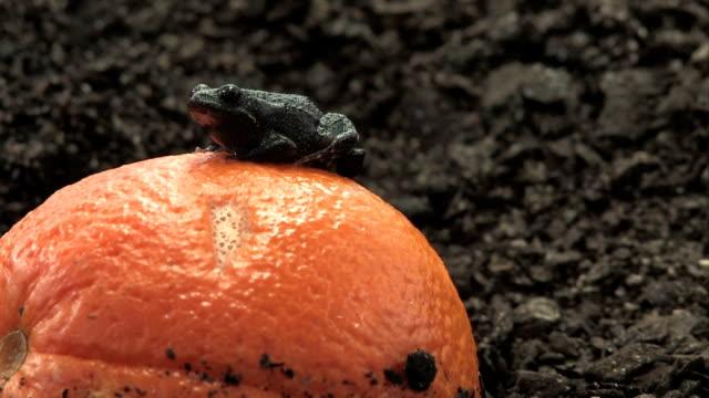Brown Frog sitting on an orange video