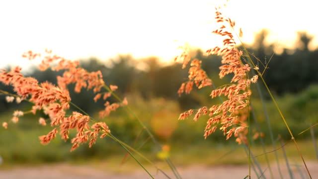 brown grass at sunset video