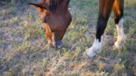 Brown horse grazing on the meadow. Horse is eating green grass in the field. Close up video