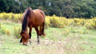 Brown horse pasture in nature outdoor - HD video footage video