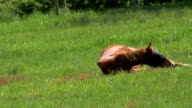 Brown Horse Rolls Over In A Farmers Field (HD 1080p30) video