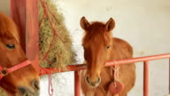brown horses eating hay in stable video