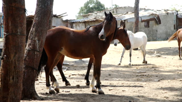 Brown Horses standing against background of houses video