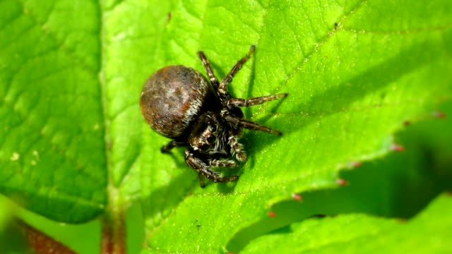 Brown Jumping Spider video