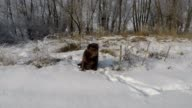 Brown Labrador sitting in the deep snow in winter video