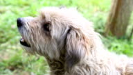 Brown little dog resting in nature video