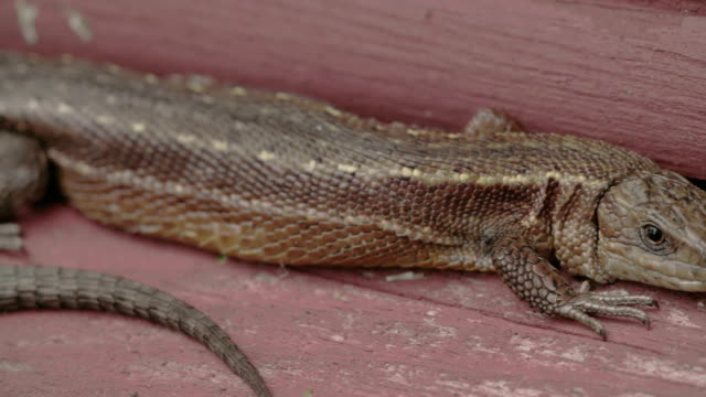 A brown long tail common lizard stuck on the wood video