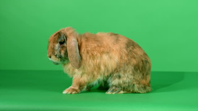 Brown lop-eared rabbit on green screen background video