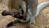 Brown Mother Wallaby Cleaning Up Her Baby video