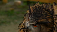 Brown Owl Fluff Slowmotion II video