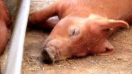 Brown pig sleeping video